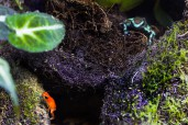 Oophaga pumilio och Dendrobates auratus